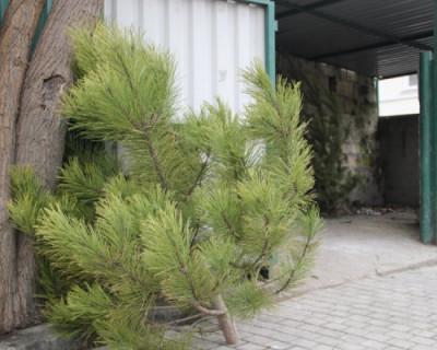 В Севастополе используют новогодние елки в качестве натурального удобрения