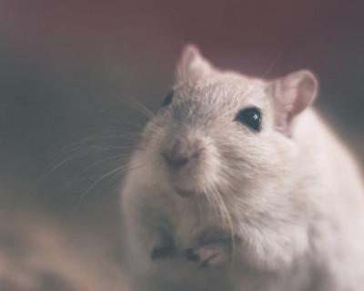 У севастопольской пенсионерки крысы утащили зубной протез