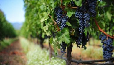 За 2019 год в Севастополе заложены 533 га новых виноградников