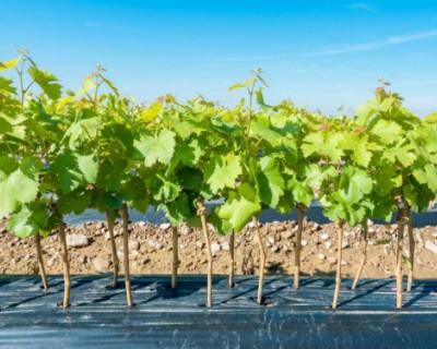 Аграрии Севастополя закупили за границей почти 4 млн саженцев винограда