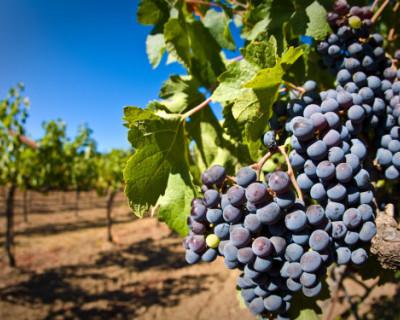 В Севастополе готовят предложения по регулированию виноградарства и виноделия