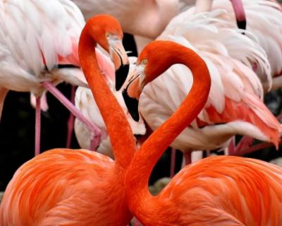 Сенсация! Фламинго прилетели в Севастополь