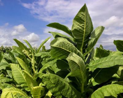 В Крыму выросли нелегальные продажи табачных изделий