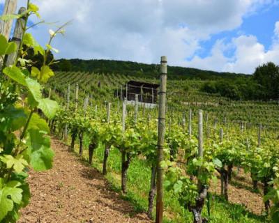 Севастопольские предприятия открыли весенний сезон закладки виноградников