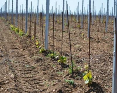 Коронавирус VS севастопольский виноград
