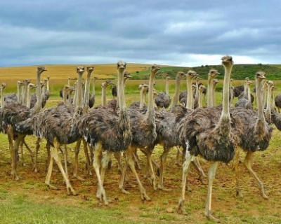 Благодаря гранту от правительства Севастополя в селе создана страусиная ферма