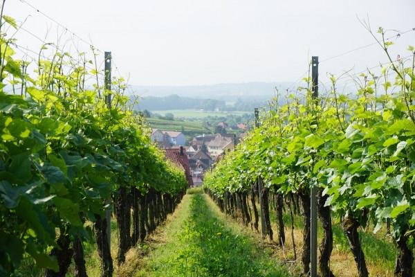 Закон о виноградарстве и виноделии в России