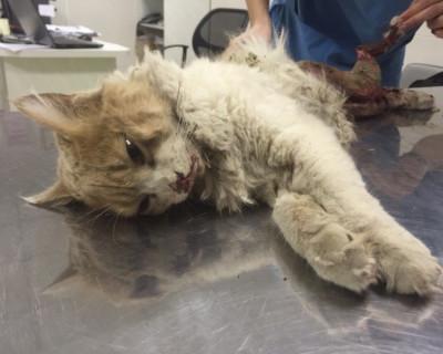 В Севастополе во Всемирный день кошек был частично скальпирован кот (шокирующие фото, видео эксклюзив, 21+)