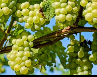 В Крыму начался сбор винограда