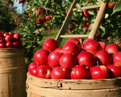 В Крыму продолжается сбор яблок
