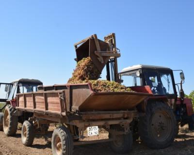 Безработные севастопольцы участвуют в общественных работах по сбору винограда