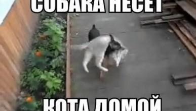 Российский видеохит интернета набирает обороты: собака несет кота домой (видео)
