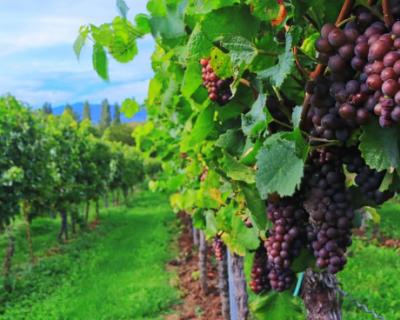 Программа фестиваля WineFest-2020: все для вас, севастопольцы и гости!