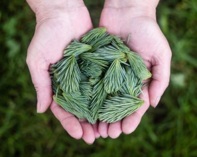 На Сапун-горе высадили более 7 500 сосен