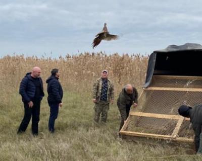 В охотничьи угодья Крыма выпускают фазанов