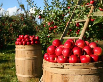 Крымские яблоки в 2020 году