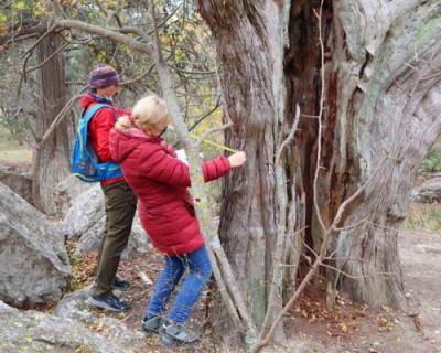 В Севастополе растет самое старое дерево России