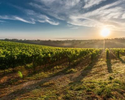 В Севастополе продолжается закладка виноградников