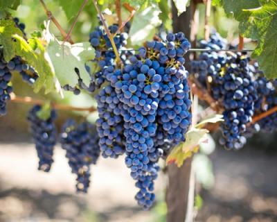 Правительство Крыма поддержит винодельческое предприятие «Массандра»