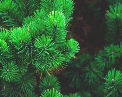 В Севастополе начали перерабатывать новогодние елки для натурального удобрения