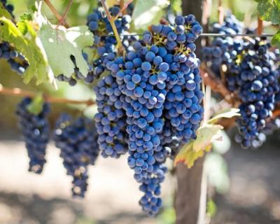 На поддержку виноградарства в Севастополе будет выделено около 280 млн рублей
