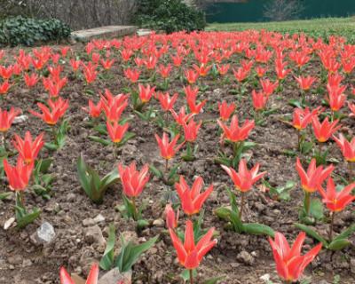 В Никитском ботаническом саду распустились первые тюльпаны (ВИДЕО)