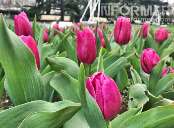 весенние тюльпаны в Севастополе