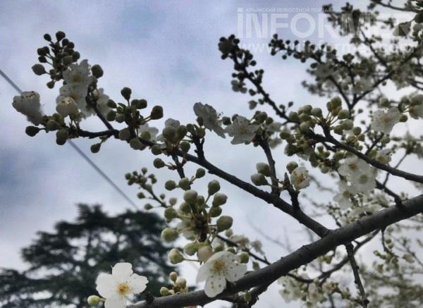 яблоневый цвет Севастополь