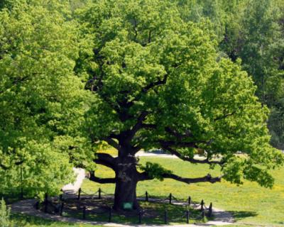 В Севастополе пройдет акция «Мемориальные деревья России»