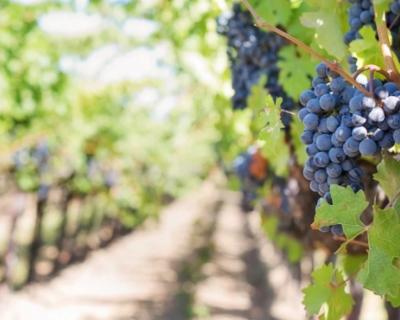 Ученые расшифруют геном дрожжей, подходящих для изготовления крымских вин