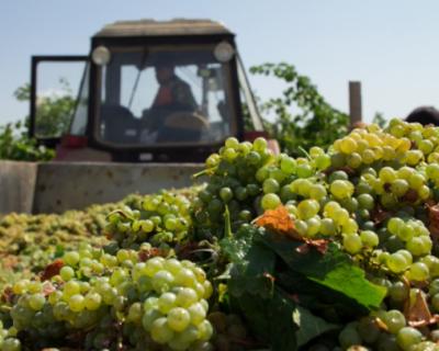 Севастопольских виноградарей поддерживает государство