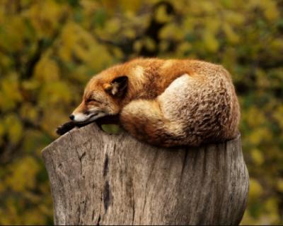 В Крыму дикая лиса укусила незадачливого туриста