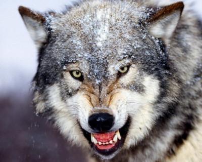 В Крыму появились кровожадные волки!