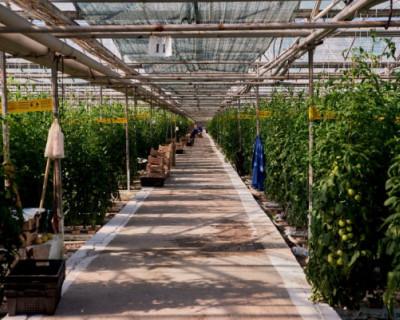 Севастопольские агропредприятия наращивают сбор огурцов и помидоров