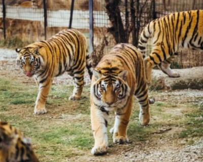 В парке «Тайган» тигр напал на ребенка