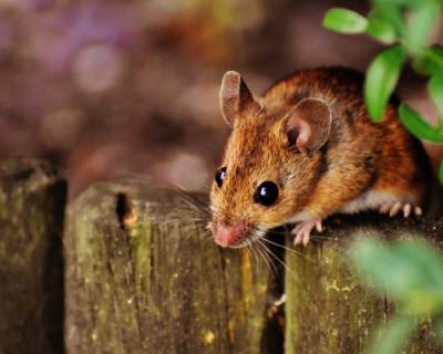 Крым заполонили мыши