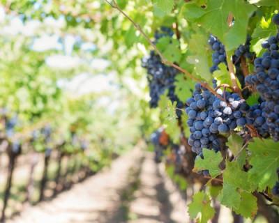 Главный университет Крыма занялся производством вина и оливкового масла