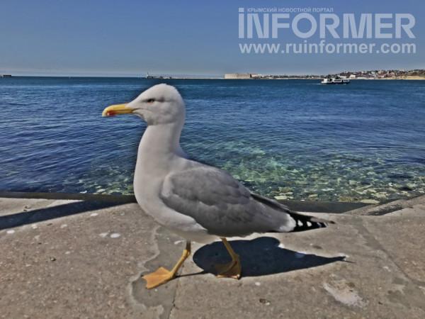 чайка Севастополь